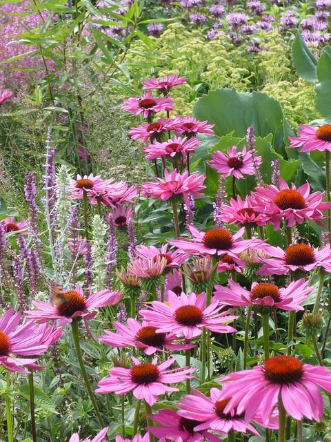Echinacea in Oudolfs Garten