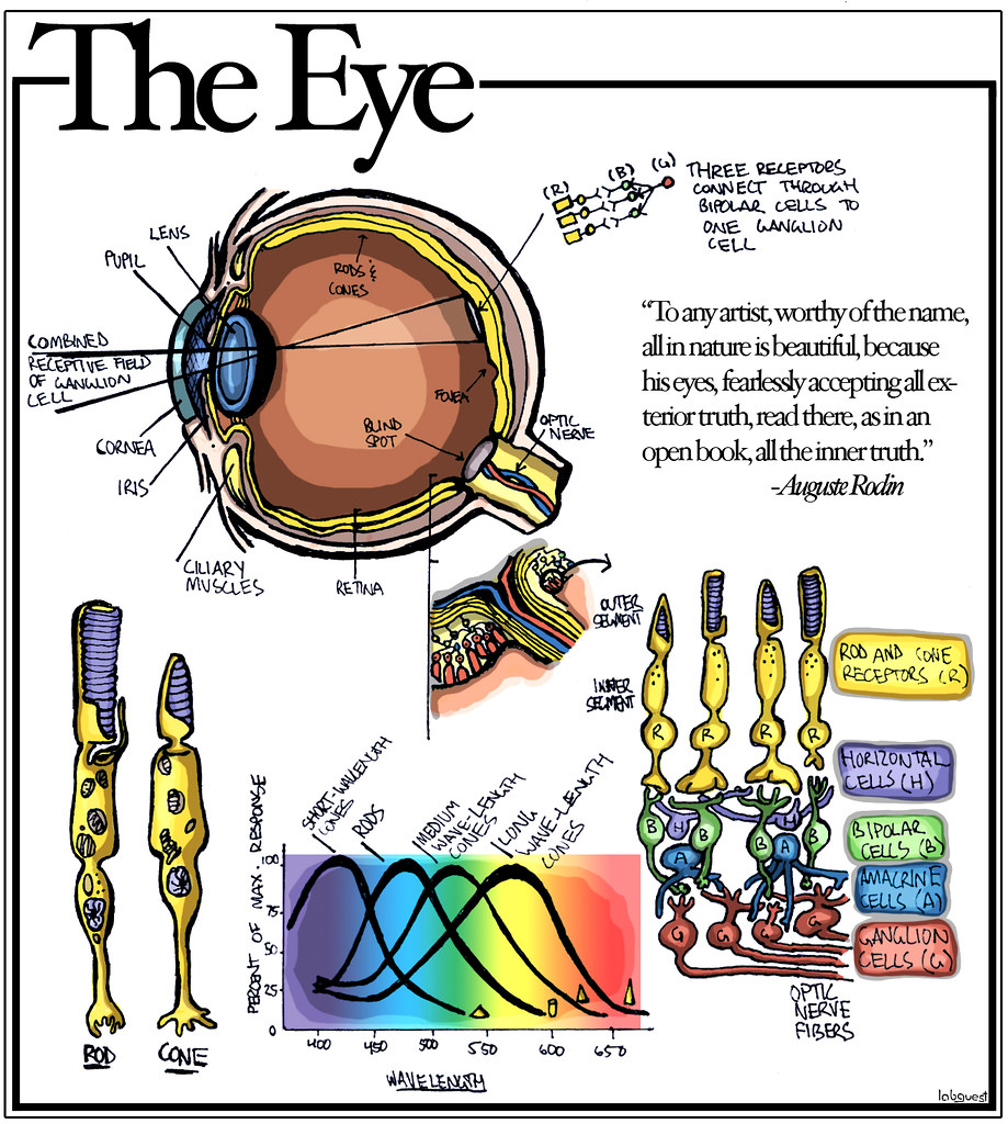 the eye | by labguest the eye | by labguest