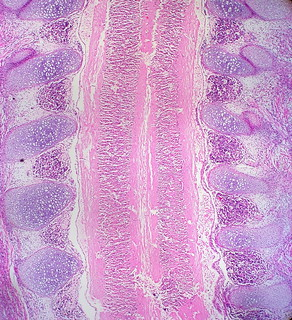 Spine of Human Embryo | by euthman