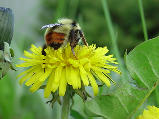 Bumble Bee and Dandelion