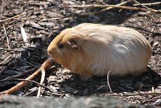 Long-haired Guinea-Pig (from Liverpool?) | by lambatofa