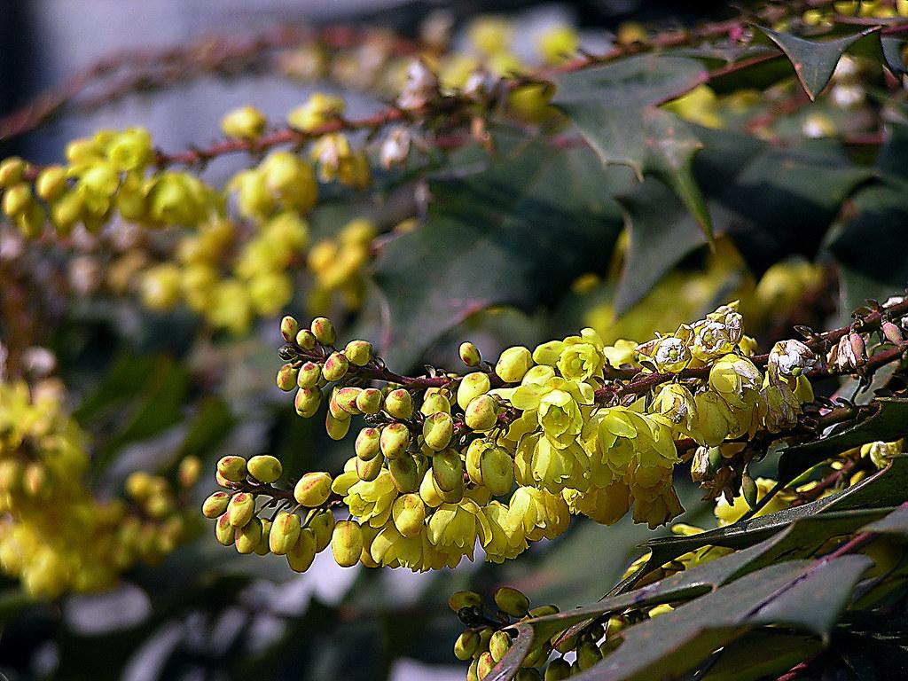 Fiori Gialli Yellow Flowers.Fiori Gialli Della Maonia Mahonia Yellow Flowers Flickr