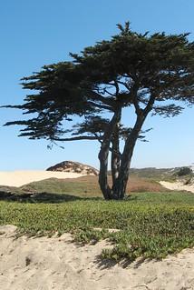 sand city cypress