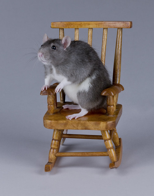 Rat in a Rocking Chair
