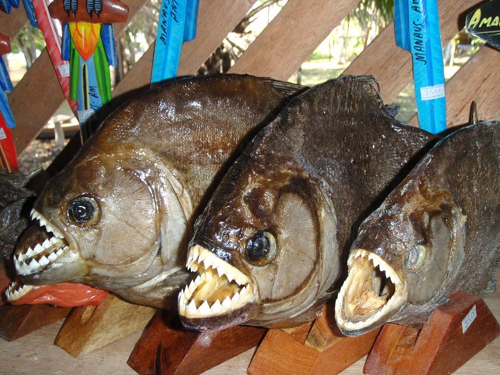 Piranhas   Amazon village