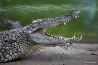 Crocodile | by Mon Don Photographe