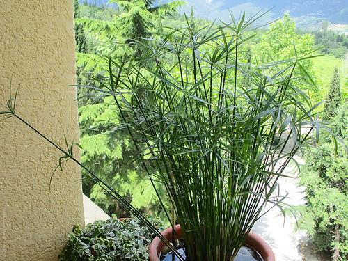 Cyperus alternifolius 'gracilis' | by denis.ivanchenko