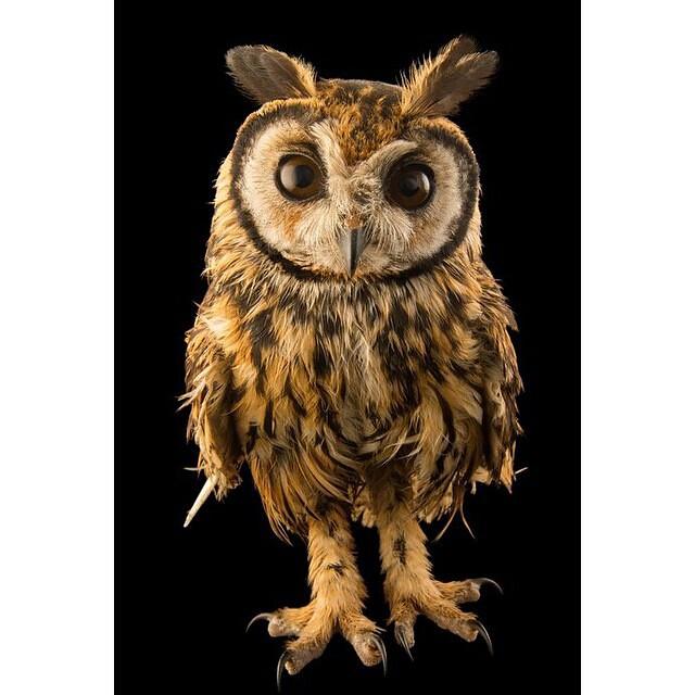#OwlsLifeSeria #StripidOwl #OwlsSeria #BaykuslarSeria #StripidOwlsSeria #CentralAmericaAnimalsSeria  #SouthAmericaAnimalsSeria  Least Concern (IUCN 3.1) Scientific classification Kingdom: #AnimaliaSeria Phylum: #ChordataSeria Class: #AvesSeria Order: #Str