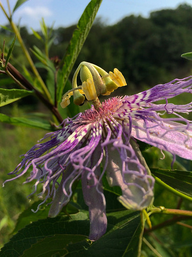 Passiflora incarnata, Accotink, 7-1-15 | by FritzFlohrReynolds