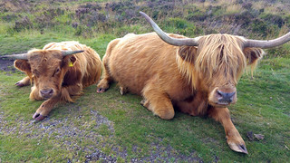 Highland cattle on by the road near Grimspound, Dartmoor | by pluralzed