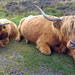 Highland cattle on by the road near Grimspound, Dartmoor