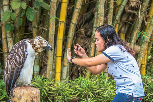 canon7dmark2 canon7dmarkii canonef70200mmf4lusmlens davao fighter juliasumangil nationalbird philippineeagle philippineeaglecentre philippinenationalbird philippines pithecophagajefferyi southeastasia bamboo bird criticallyendangered endangered greatphilippineeagle julesnene male monkeyeatingeagle nature travel davaocity davaoregion ph travelgirljulia