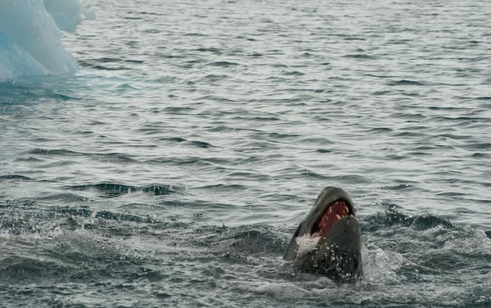 Nom Nom Nom - Leopard Seal