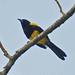 Calandria Caperuza Negra - Photo (c) Jerry Oldenettel, algunos derechos reservados (CC BY-NC-SA)