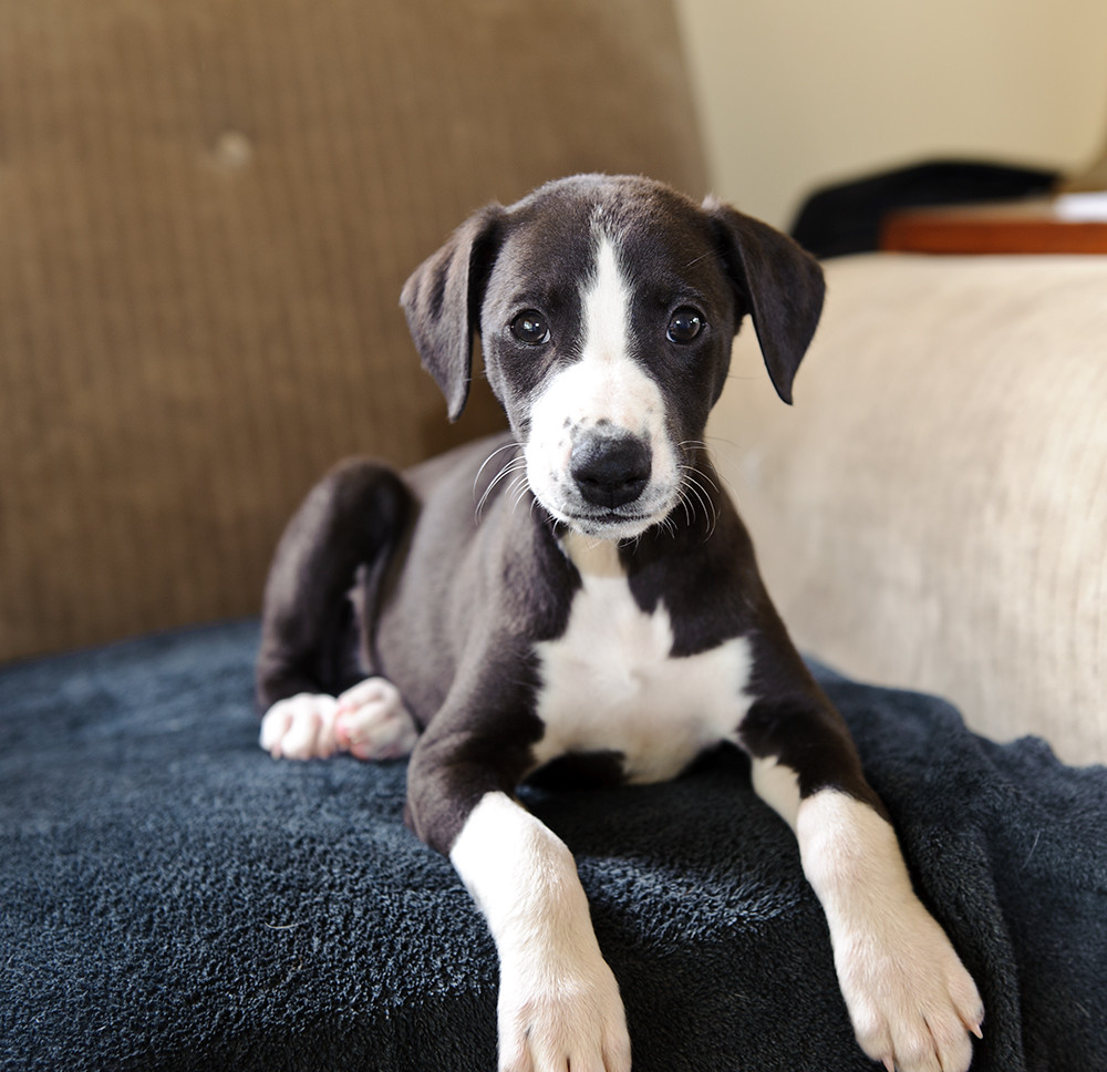 Whippet Puppies Breeders For Sale In New Brunswick Canada