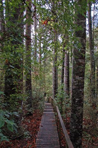 newzealand kaoriforest parrykauripark nznorthland2009 nzau2009