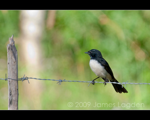 Willie Wagtail | by James Lagden