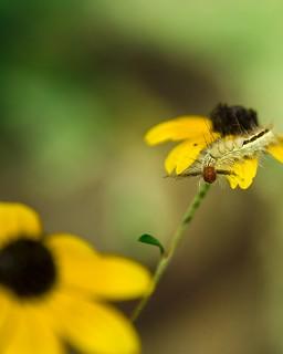 Horned Caterpillar on Lazy Susans!
