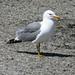 Flickr photo 'California Gull - Mono Lake' by: docentjoyce.