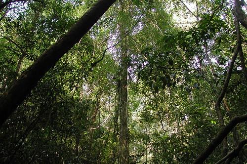 Thu, 10/29/2009 - 22:40 - Dipterocarp forest understorey. Credit: CTFS