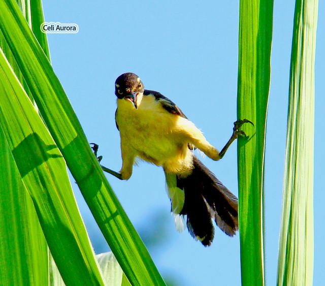 Donacobius atricapillus ( Sabiá-do-brejo ou Batuquira ou Japacamim ou Pássaro-angu ) - Black-capped Donacobius - 12563a