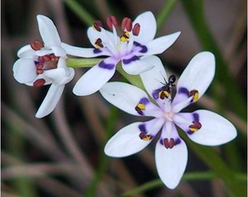 Wurmbea dioica male