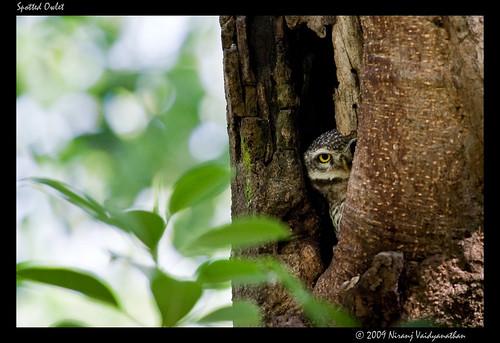 birds bangalore lalbagh owlet strigidae spottedowlet athenebrama lalbaghbotanicalgarden canoneos1dmarkiii canonef100400mmf4556lusmis niranjvaidyanathan