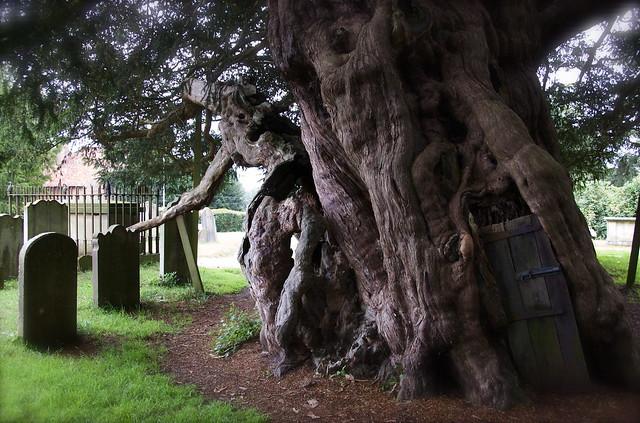 yew in Crowhurst