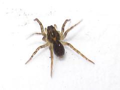 DSC00402 British Spiders | by Mick E. Talbot