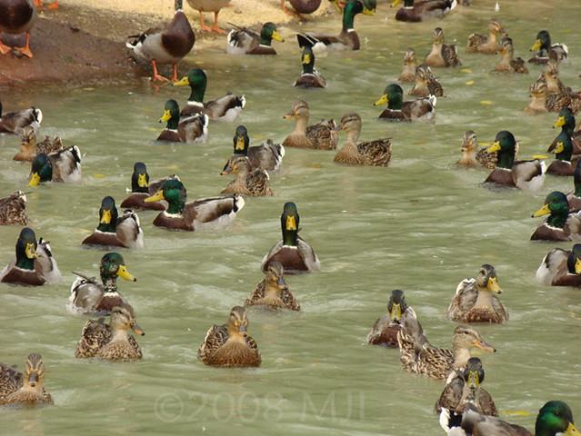 Lotsa Ducks
