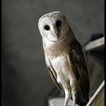 Barn Owl | വെള്ളി മൂങ്ങ