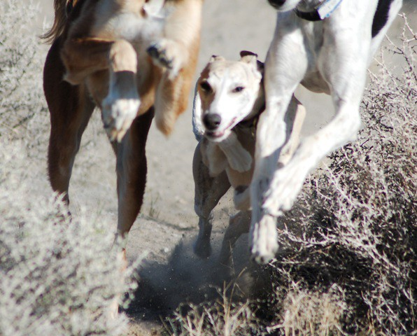 whippet in between