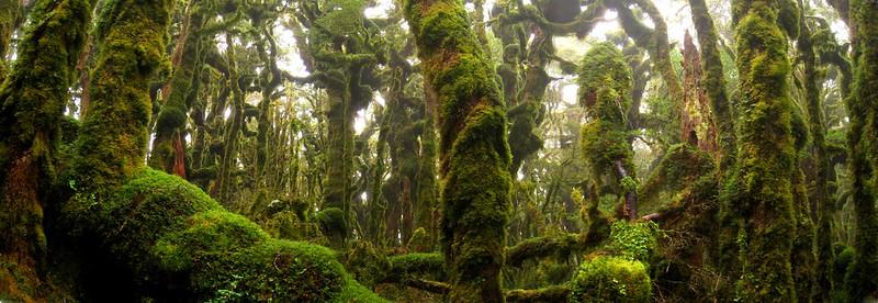 kapakapanui forest