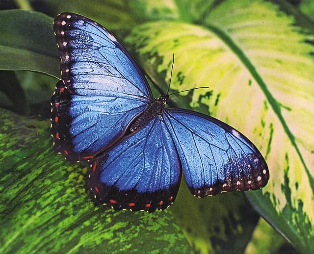 Morpho Hyacinthus Butterfly Calendar Photo