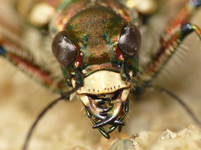 Tiger Beetle (Cicindela hybrida)