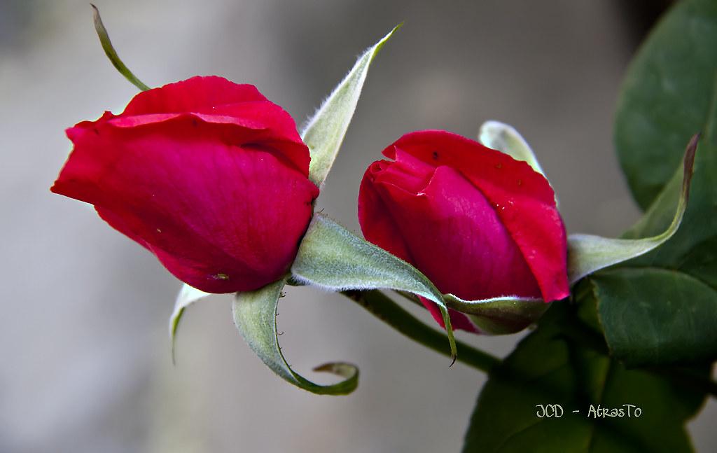 Rosas Una Bonita Pareja Roses A Nice Pair Joaquin