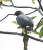 Slate-colored Hawk, Muyuna Lodge, S of Iquitos, PE, 2006_12_28 085.jpg by maholyoak