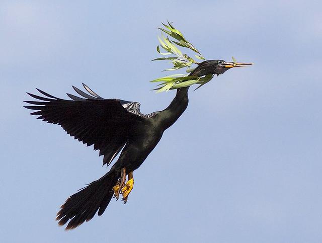 Male Anhinga in Flight with Nesting Materials (Anhinga anhinga)