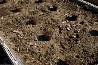 Humble Garden 2009: transplanting | by nikaboyce