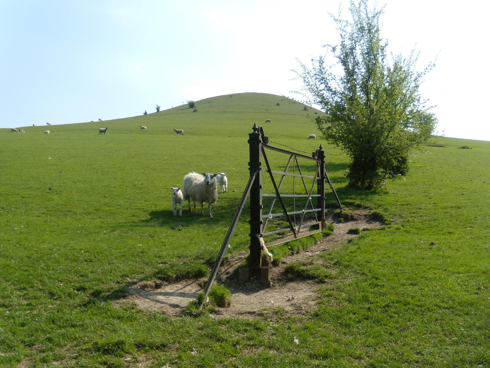 Sheep and hill Wendover Circular