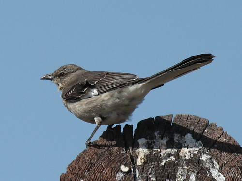 Northern Mockingbird-IMG_6453-Alviso-crop | by gimlack