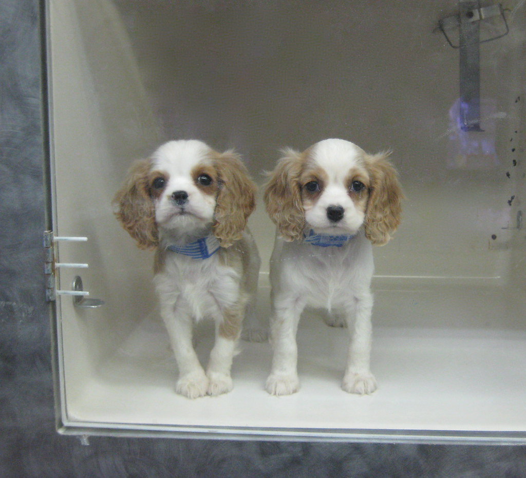 Cavalier King Charles Puppies At The Pet Store In Astoria Flickr