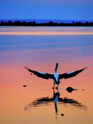 sunset bird pentax australia pelican mandurah birdwatcher potofgold smcpda50200mmf456ed k200d natureoutpost