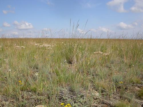 grass midsummer habit habitat poaceae steppe perennial festuca bunchgrass fescue bigbeltmountains coolseason festucaidahoensis drysite poeae idahofescue