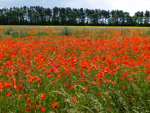 Mass of poppies in a field