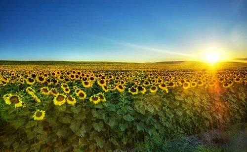 Sunflowers at Sunset | by Trey Ratcliff