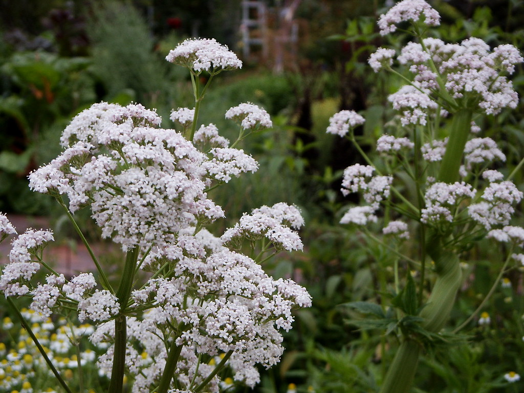 Valeriana officinalis, valerian, Herb Garden, Huntington L… | Flickr