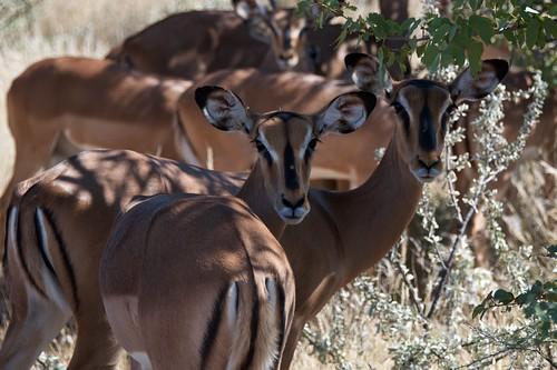 christian safari afrika impala namibia etosha selfdrive jafi südafrika baltrusch etoshawestgate