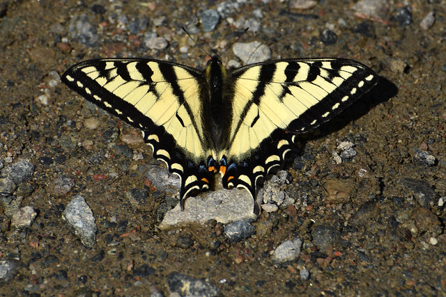 Canadian Tiger Swallowtail ... Papilio canadensis
