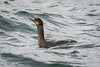 Juvenile Shag by Peter Maguire